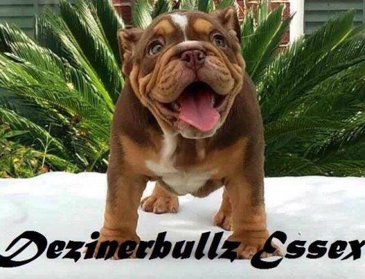 French bulldog breeders in the uk