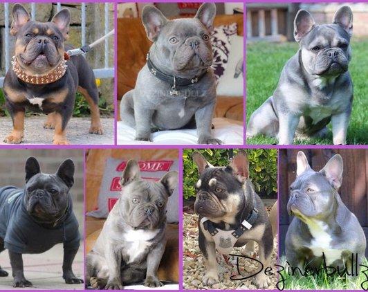 blue wizard french bulldog www vimax resmi com agen